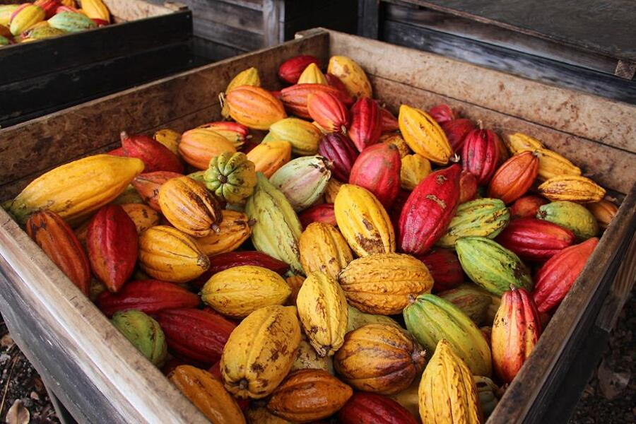 colori maturazione baccello cacao